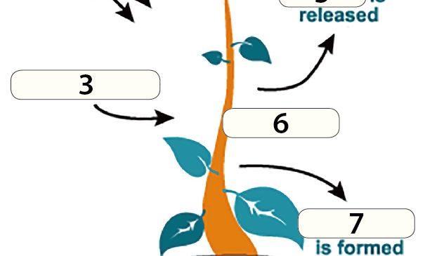 用英文學生物》植物怎麼行光合作用?