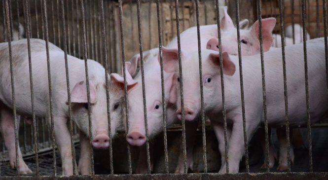 非洲豬瘟「爆發」英文是outbreak還是breakout?