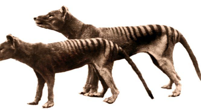 滅絕袋狼重新現身 澳洲政府公布目擊紀錄