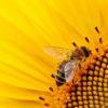 跨學科學英文/520不是我愛你 來認識世界蜜蜂日